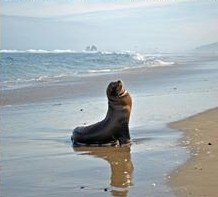 Sea lion on Rockaway Beach
